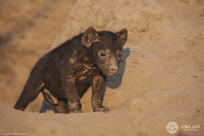 hyena-pup-in-den