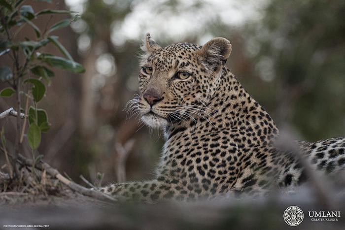 leopards-watchful-gaze