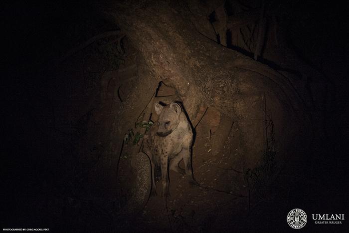 hyena-at-foot-of-tree