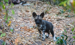 A curios wild dog puppy poses for a photo