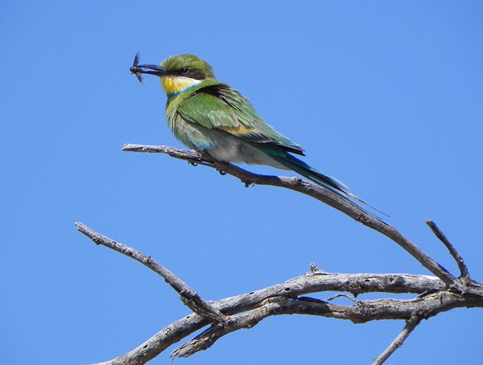 A-swallow-tailed-bee-eater