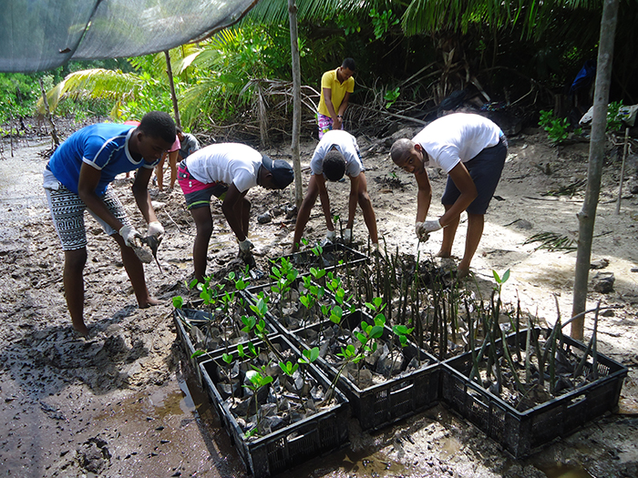 Bagged mangrove seedlings ready for planting