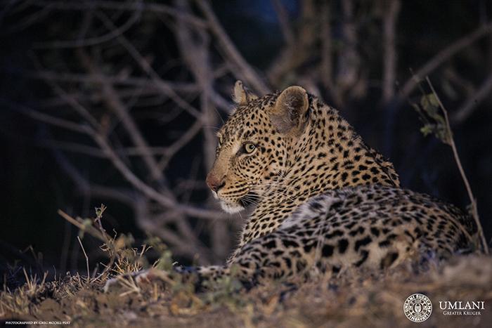 leopard-in-Timbavati