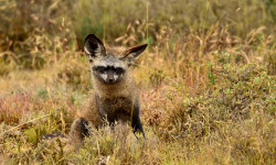 Bat-eared Foxes acute hearing can pinpoint insects moving underground, which they will dig up to eat.