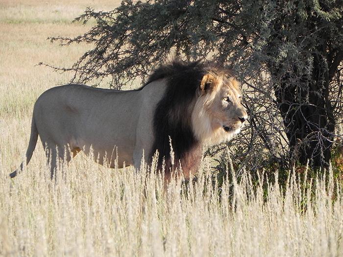 Black-maned-Kalahari-lion