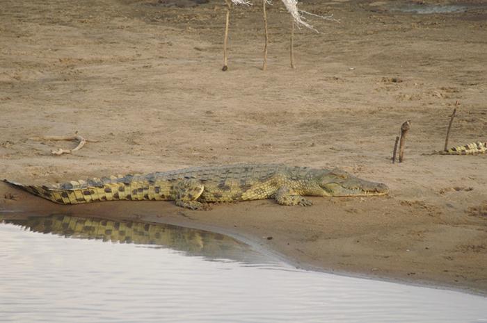 Crocodile-at-Luangwa-River