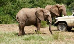 Elephant near car