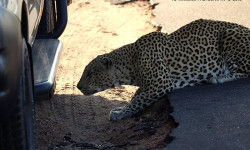 FJ capturing the moment the leopard went underneath car