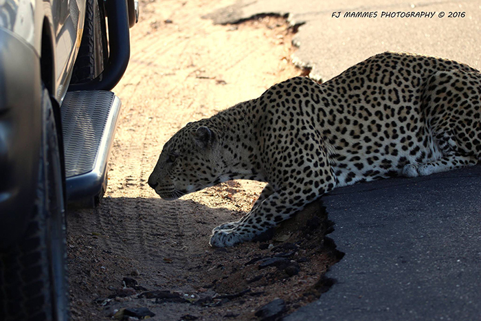 leopard-uses-vehicle-for-cover