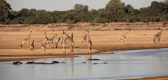 Giraffes-at-Luangwa-River