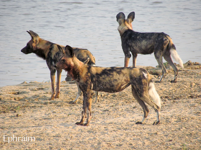wild-dogs-by-the-water
