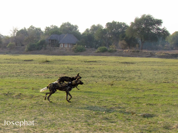 wild-dogs-in-front-of-directors-house