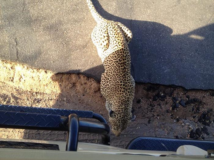 Leopard-assesing-his-prey