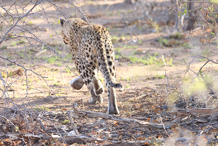 Leopard-chasing-its-prey