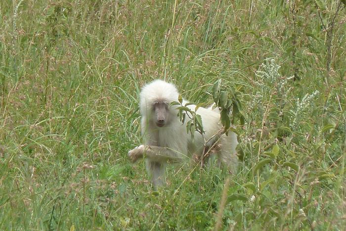albino-baboon-arusha