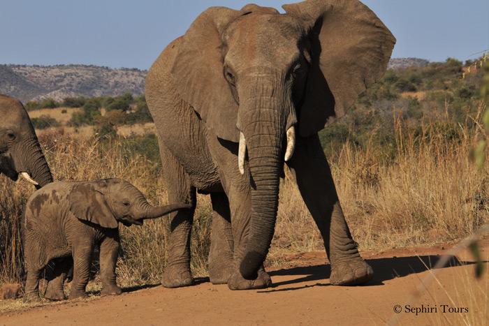 baby-elephant-pilanesberg