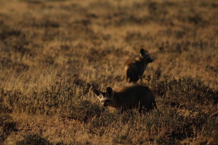 bat-eared-fox-benfontein-nature-reserve