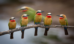 bee-eaters-birdlife