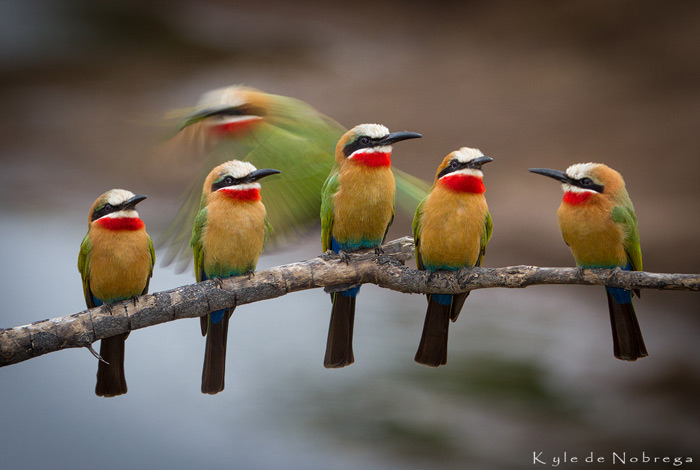 bee-eaters-birdlife