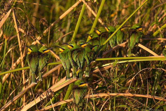 bee-eaters-botswana