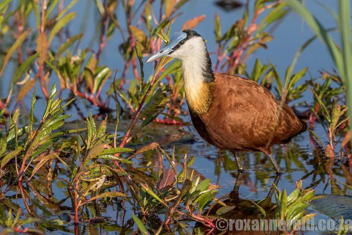 birding-okavango-roxanne-reid