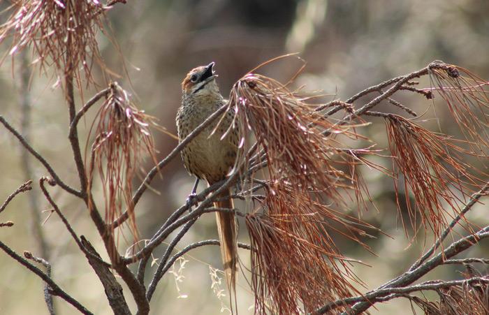 A Cape grassbird lives in the wetlands of Tokai Park