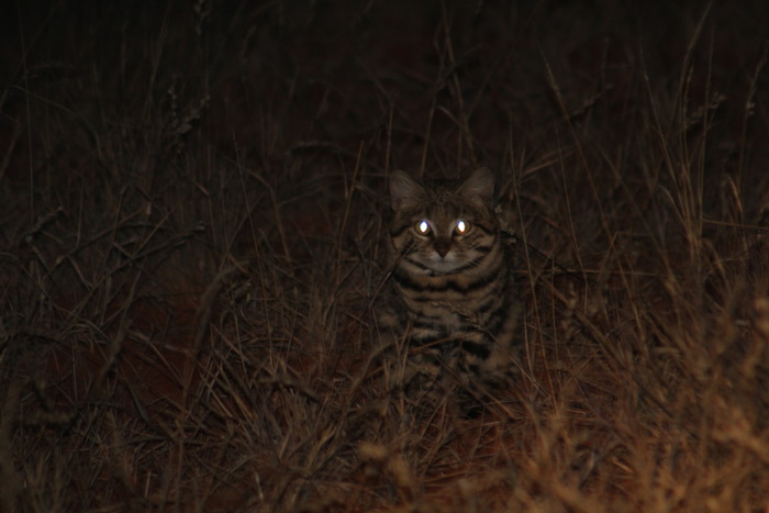 black-footed-cat-benfontein-nature-reserve