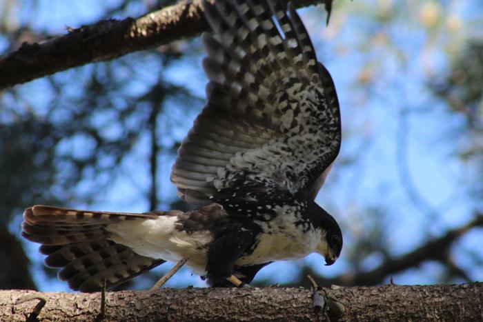 black-sparrow-hawk-tokai