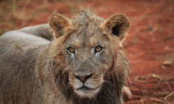 colin-bell-lion