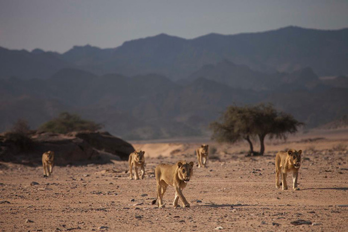 Five desert-adapted lions in Namibia