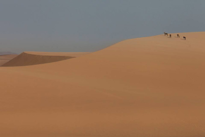 desert-adapted-lions-namibia