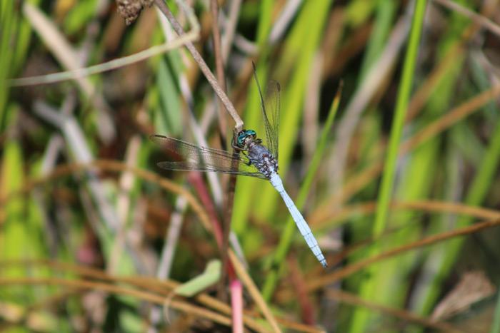 Dragonflies abound in Tokai Park