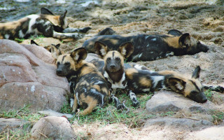 flo-montgomery-wild-dogs-ruaha