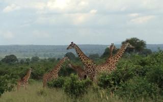 giraffe-arusha-national-park