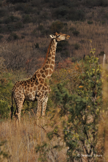 giraffe-pilanesberg