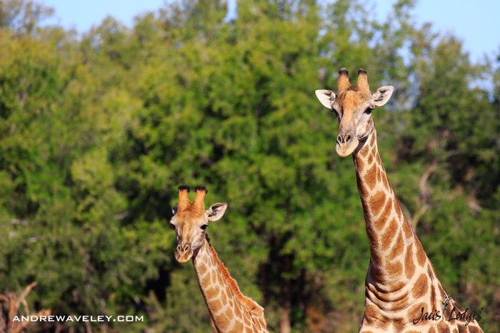 giraffes-madikwe