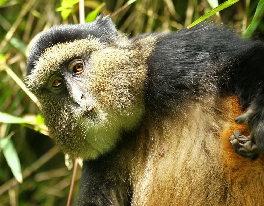 golden-monkey-scratching-jytte-fredholm-ferreira