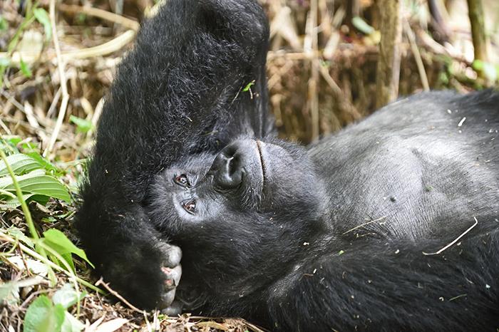 gorilla-resting