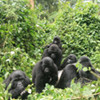Gorilla Safaris Adventure