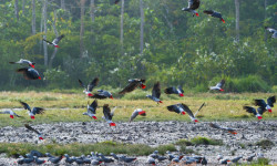 African grey parrots in flight in Odzala ©Dana Allen