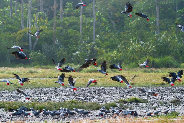 African grey parrots in flight in Odzala ©Dana Allen