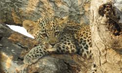 grumpy-leopard-cub