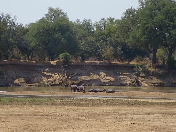 hippo-pod-at-Luangwa-River