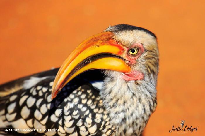 hornbill-madikwe