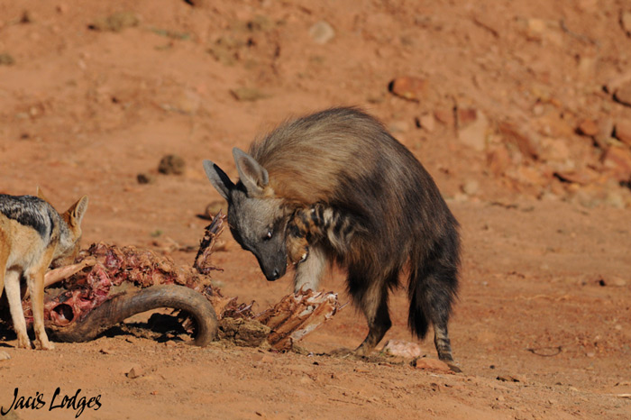 hyena-bone-stuck-in-throat