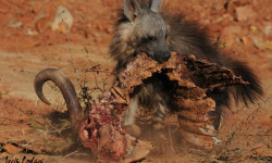 hyena-buffalo-carcass