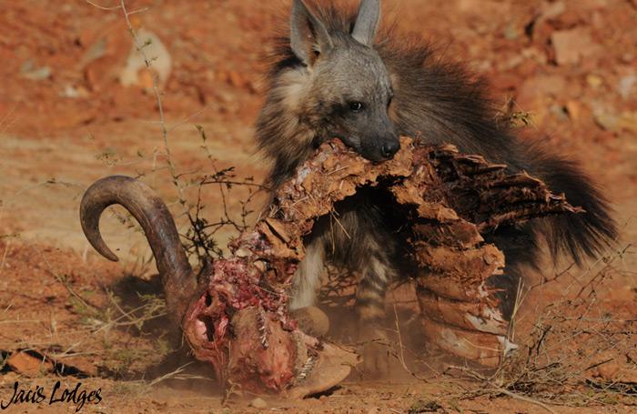 hyena-buffalo-carcass