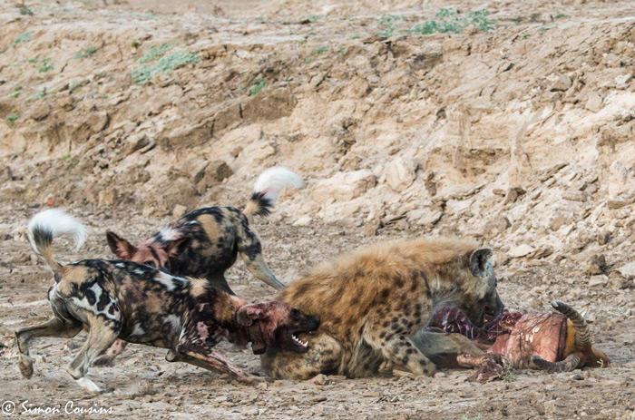 hyena-eats-kill