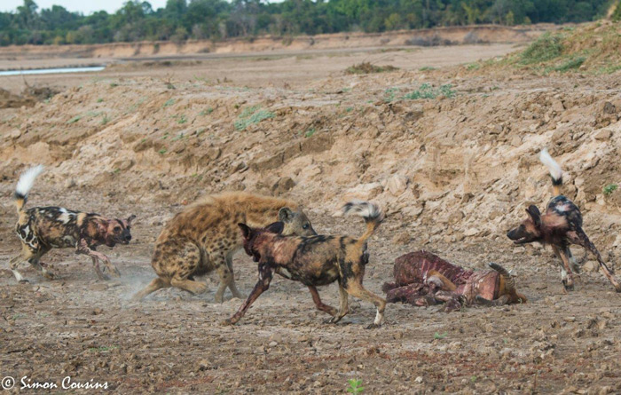 hyena-fights-wild-dogs-for-kill