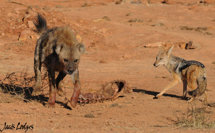 hyena-jackal-madikwe